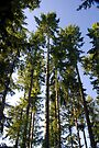 Tall Trees in the Green Wood by DonDavisUK