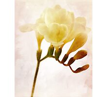Freesia Photographic Print