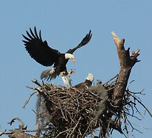 BALD EAGLE WITH FISH by TomBaumker