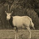 Gazellle at Fossil Rim Wildlife Center by Susan Russell