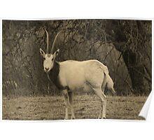 Gazellle at Fossil Rim Wildlife Center Poster
