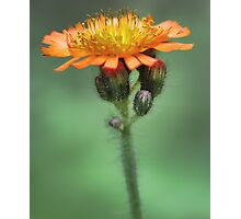 Orange Hawkweed -- Soft Afternoon Light Photographic Print
