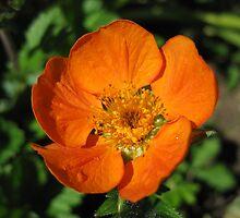 Orange Geum Flower by GnomePrints
