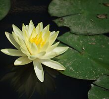 Yellow Lotus Flower by nicholaspr