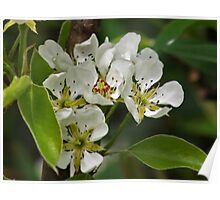 Pyrus Communis Conference Poster