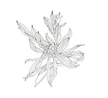 Plantain Line drawing Photographic Print