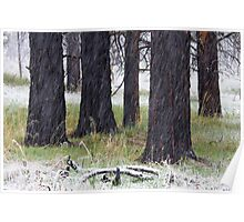 Spring Snow & Black Trees Poster