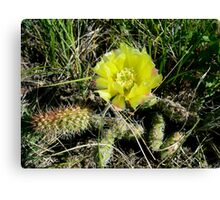 Prickly Pear Cactus in  Bloom -Prairie Wildflower Series Canvas Print