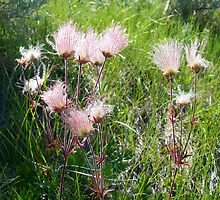"""Prairie Smoke"" (Geum Triflorum) - Prairie Wildflower Series by Max Buchheit"