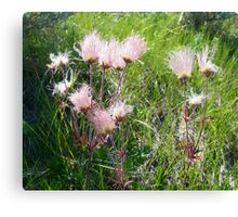 """Prairie Smoke"" (Geum Triflorum) - Prairie Wildflower Series Canvas Print"