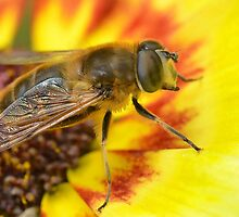 Merodon Hoverfly by relayer51