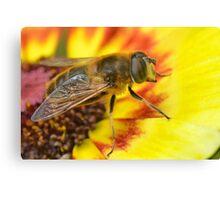 Merodon Hoverfly Canvas Print