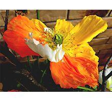 Tri colour poppy.  Photographic Print