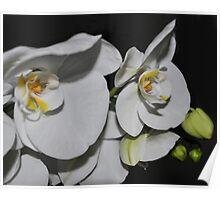 White Phalaenopsis Poster