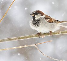 Snowy Sparrow by Kim Barton