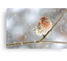 Snowy House Finch Canvas Print