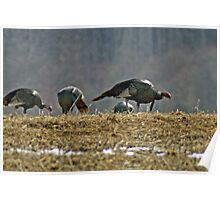 Turkeys Feeding Poster