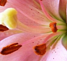 *Asiatic Lily in Macro* by EdsMum