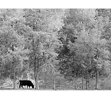 Tall Cedars And Black Bull Photographic Print