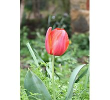 Tulip In The Field Photographic Print