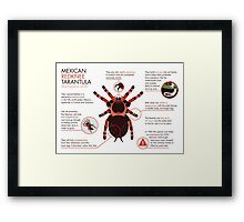 Infographic: Mexican redknee tarantula  Framed Print