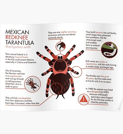 Infographic: Mexican redknee tarantula  Poster