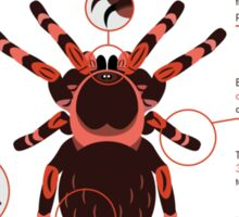 Infographic: Mexican redknee tarantula  Sticker