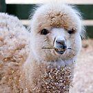 Funny Face - Alpaca Zoodoo wildlife park by Jenny Dean