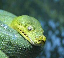 Green Tree Python by Leanne Allen