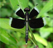 Blue Black Dragon Fly by drelayaraja