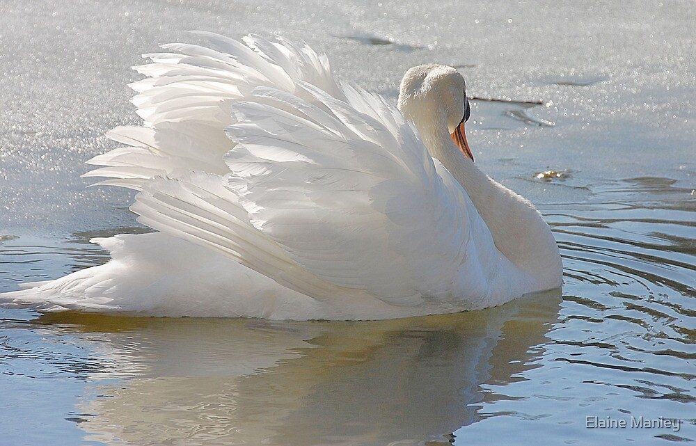A Swans Beauty by Elaine  Manley