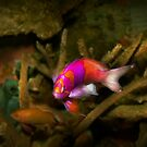 Animal - Fish - Pseudanthias pleurotaenia  by Mike  Savad