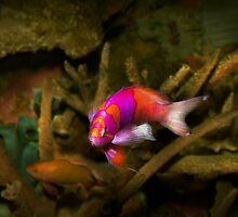 Animal - Fish - Pseudanthias pleurotaenia  by Mike  Savad