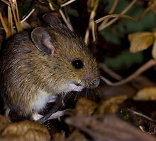 The field mouse by Angi Wallace