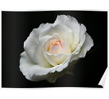 The White Rose with a Hint of Pink Poster