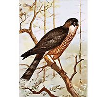 Sharp Shinned Hawk Photographic Print