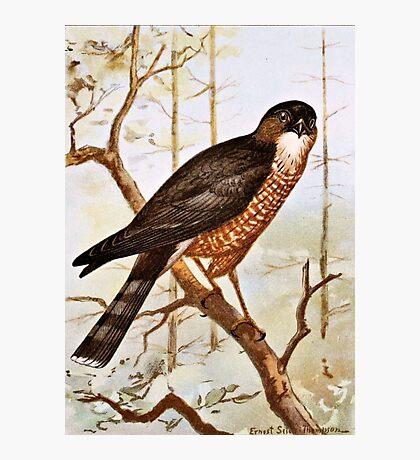 Sharp Shinned Hawk Photographic Print