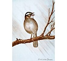 White Throated Sparrow Photographic Print