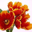Parrot Tulips  by OldaSimek