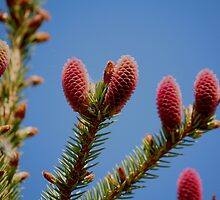 Pine Cones by Larry Trupp