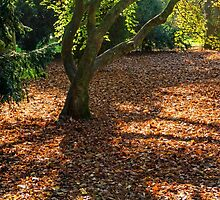 Acer Tree and Shadow by Nick Jenkins