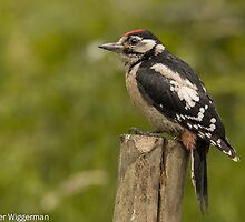 Juvenile great Spotted Woodpecker - I by Peter Wiggerman
