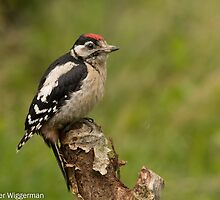 Juvenile Great Spotted Woodpecker - III by Peter Wiggerman