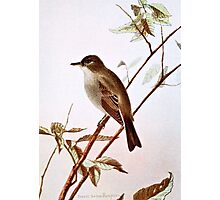 Wood Pewee Bird Illustration Photographic Print