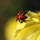 Ladybird on yellow flower by Ellen van Deelen