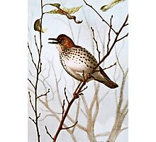 Wood Thrush Vintage Art Photographic Print