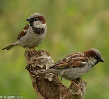 House sparrows by Peter Wiggerman