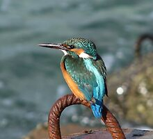THE COMMON KINGFISHER by Khaled EL Tangeer