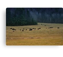 In The Prairies, Bison Relaxing Canvas Print