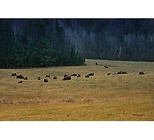In The Prairies, Bison Relaxing Photographic Print